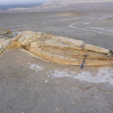 El Ingemmet y la SGP exhibirán fósil de reptil marino prehistórico hallado en Lima