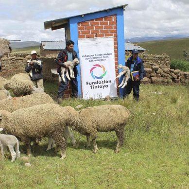 Antapaccay contribuye con la inseminación artificial de ovinos en Espinar