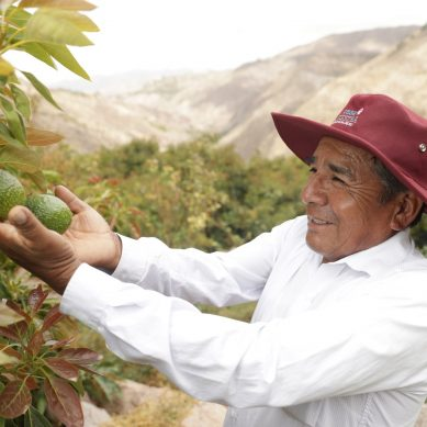 Southern fortalece cultivo orgánico de palto de productores de Chuchusquea, en Moquegua